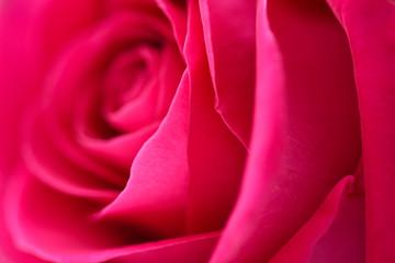 Closeup background flower pink rose