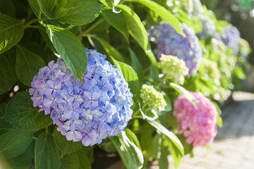 Zelfklevend Fotobehang Hydrangea Bushes of hydrangea is pink, blue, lilac, violet, purple. Flowers are blooming in spring and summer at sunset in town street garden outdoor.