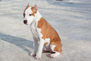 American staffordshire terrier puppy is sitting on a white snow. Three month old.