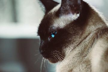 Siam Katze Siamese