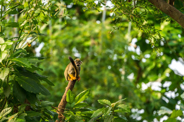 Squirrel Monkey on a tree trunk