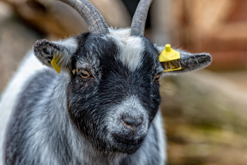 A Mini goat from Africa looks for delicious food