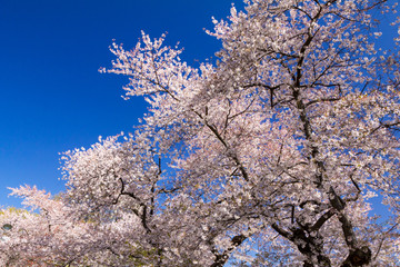 Colorful blooming petals on a spring tree against blue sky background