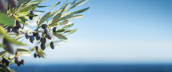 Photo sur Aluminium Oliviers Olives by the Sea Panorama