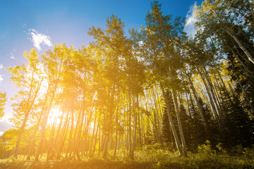Bright sun shines through forest of golden aspen trees in Colorado fall landscape