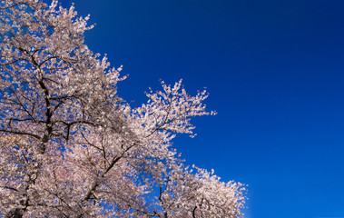 Blooming tree in springtime against empty blue sky background