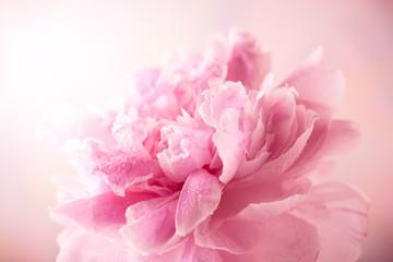 Obraz Pink peony - fototapety do salonu