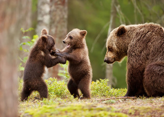 Eurasian brown bear female and her playful cubs