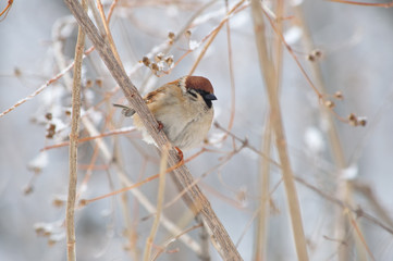 Eurasian tree sparrow sits in the thickets of the bush (gently watercolor background).