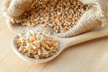 Wooden spoon of sprouted wheat seeds and sack of grains, nutrition healthy food.