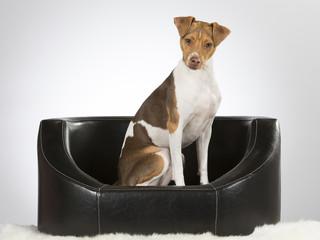 Brazilian terrier is sitting on a black leather sofa. Image taken in a studio.