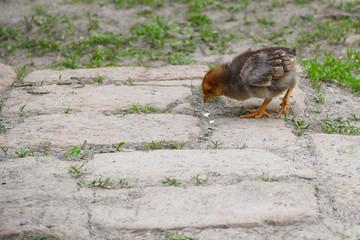 Yellow Baby Chicken walk on the grass