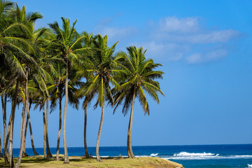 Palm trees by the caribbean sea