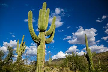 Aluminium Prints Cactus Towering Cactus