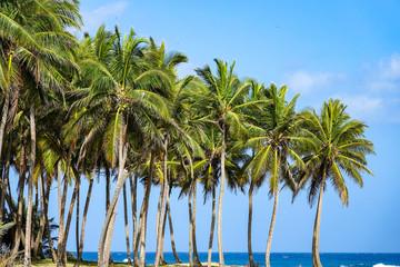 Tropical palms in the Caribbean
