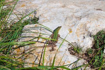 Pregnant green lizard on the stone among the grass