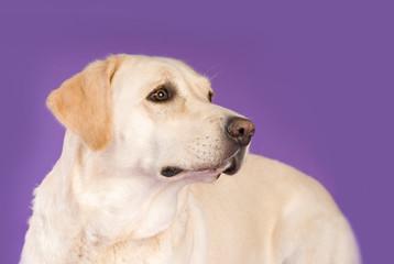 Labrador auf lila Hintergrund