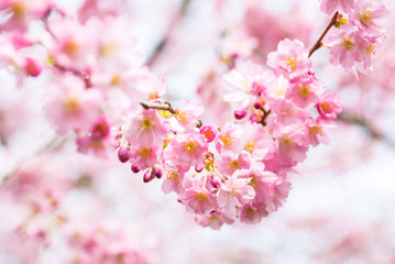 Ast mit blühender japanischer Kirschblüte