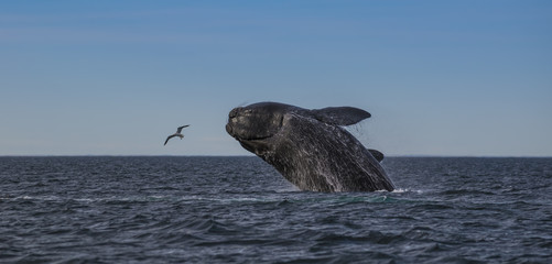 Southern Right Whale Jump, Patagonia, Argentina