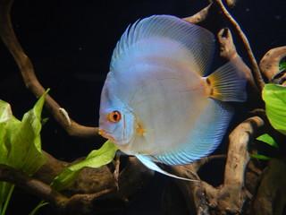 Cobalt discus fish in aquarium