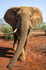 Close encounter with a bull elephant in Zimanga GAme Reserve in South Africa