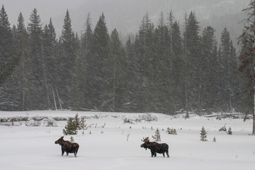 Bull and cow moose in a snowstorm
