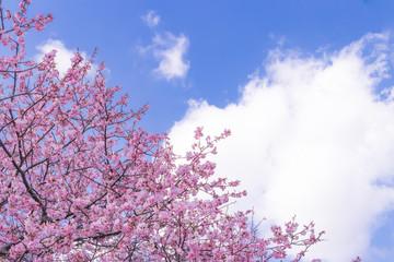 美しい河津桜のある風景