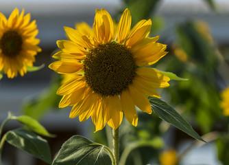 Bright small sunflower