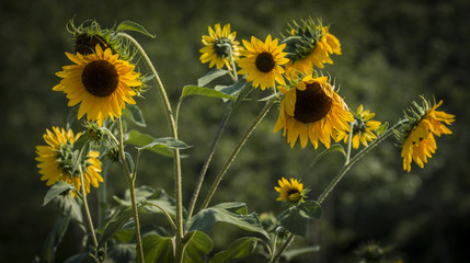 Small sunflowers starting to wilt in Maine