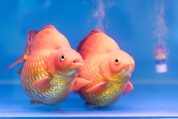 One of most popular pet ornamental fish is goldfish or Carassius auratus, Family Cyprinida. Ranchu or lionhead goldfish is very popular to show in fish tank