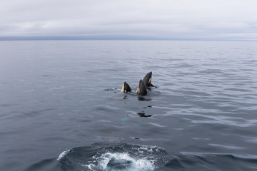 Group of orcas playing at sea of Okhotsk near Japan Shiretoko, Rausu village horizon view