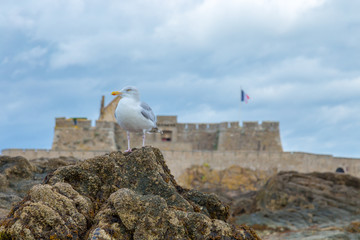 Seagull profile with the background of Saint Malo Fort National and rocks during low Tide. Brittany, Europe