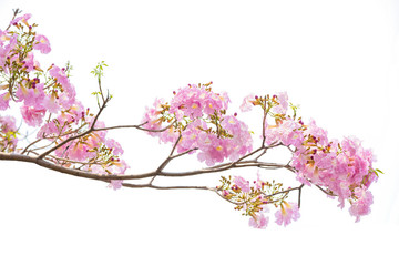 Pink Tabebuia rosea flower blooming in spring. Pink flower isolated on white background.