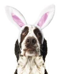 Springer Spaniel With Easter Bunny Ears