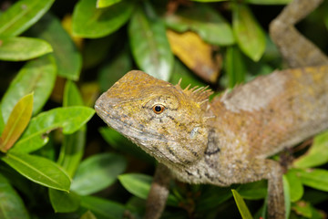 Image of chameleon on a green leaf. Reptile, Animal.