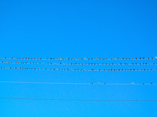 Birds on wires on a blue sky background. Flock of pigeons gathering and sitting on electric wire.