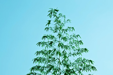 Bamboo shoots up the sky, the wind must breeze.