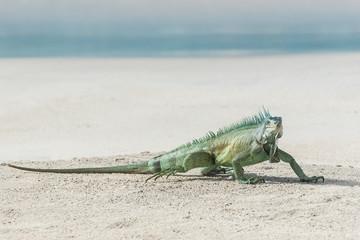 Green iguana walking on the sand, funny animal