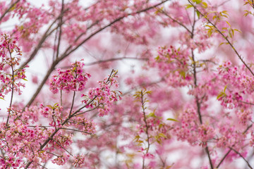 Blossom pink flower tree over nature background, Spring flowers background