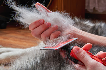 Concept spring moulting dog. Boy holds in hands lump wool Siberian husky and rakers brush. Closeup.