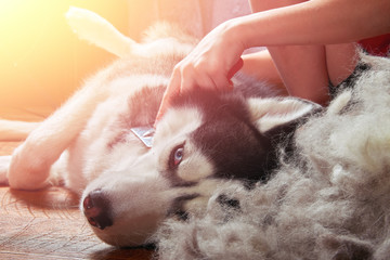 Concept moulting dogs. Owner comb wool with Siberian husky. Husky dog lies on wooden floor lifting hind paw.