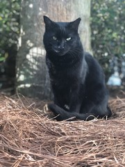 Midnight the black cat!