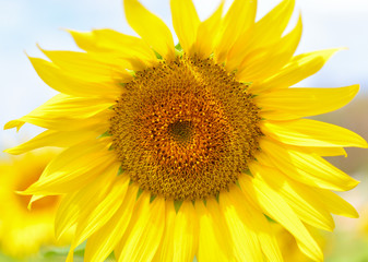 Sunflower in a field in a summer daylight