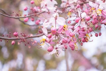 Pink cherry blossom on bokeh background..