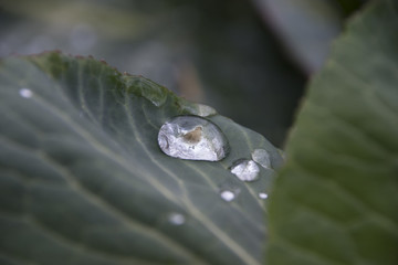 Collard dove trapped in a large raindrop of cabbage leaf