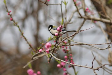 Great tit and flowering peach trees