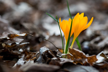 Sprouting crocus in spring garden - elective focus, copy space