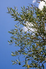 cluseup of olive tree in Italy