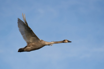 Young mute swan flying on the blue sky