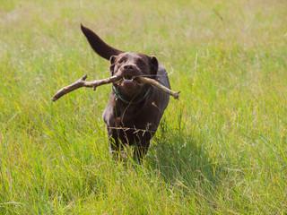 Labrador apportiert Stock